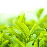 緑茶カテキン(EGCg)とは? 特徴と効果について